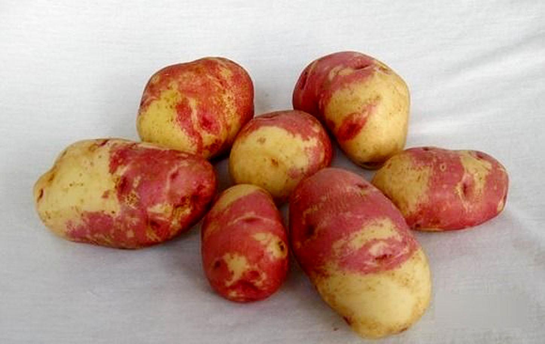 картофель пикассо описание характеристики