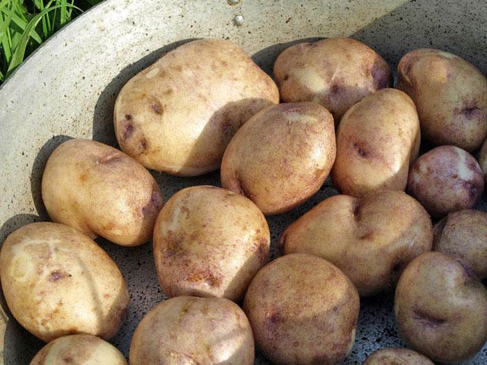 сорт картофеля Синеглазка