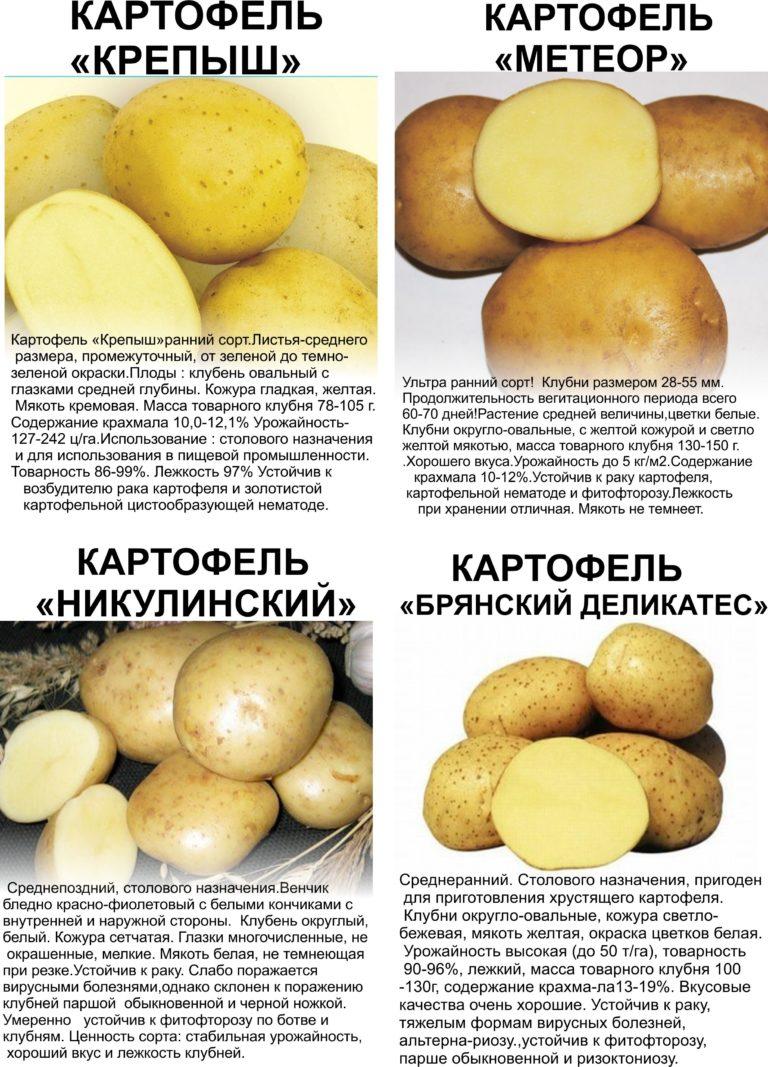 картофель метеор описание