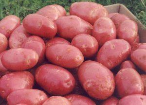 картофель скарлет описание сорта фото отзывы