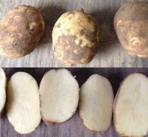 сорт картофеля колобок