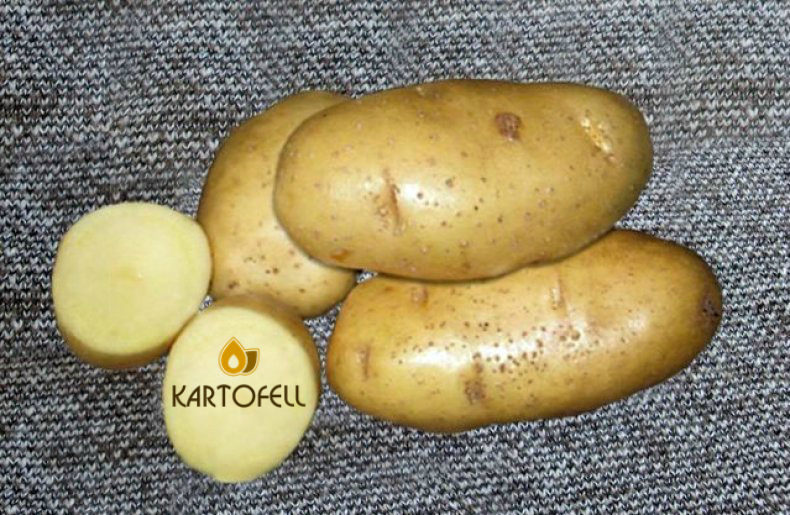 сорт картофеля Скарб