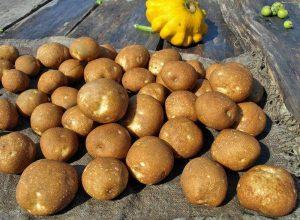 картофель Киви