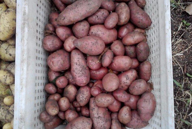 беллароза картофель характеристика