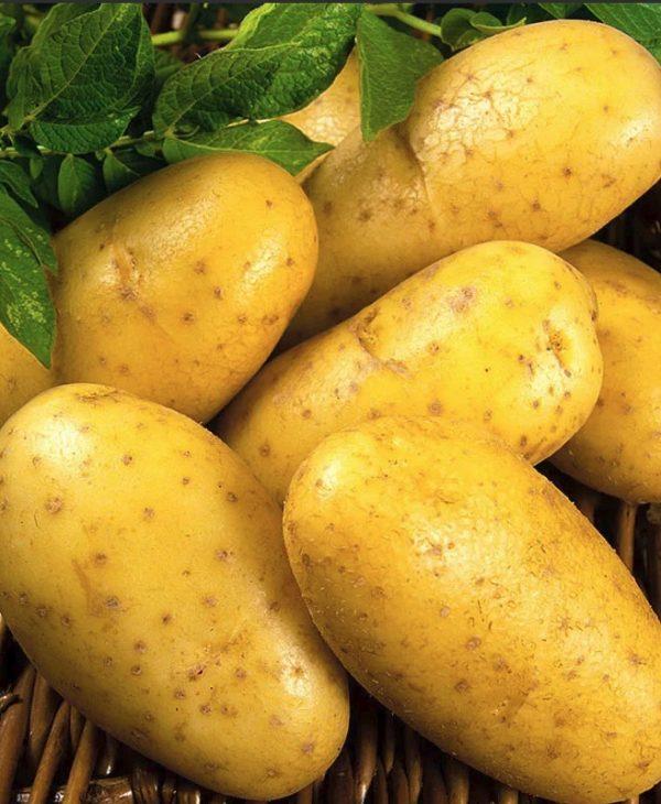 окрашивающих составах сорт картофеля хозяюшка фото и описание отзывы ними познаем