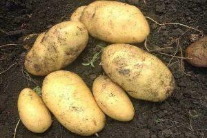 картофель лорх