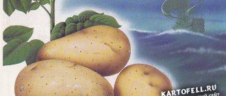 родина картофеля